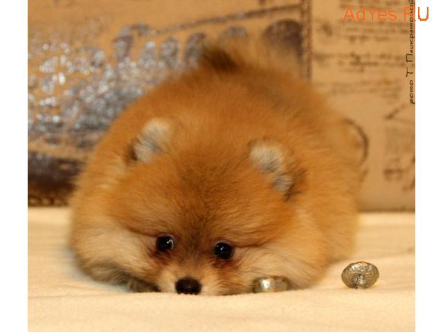 Померанского и малого цверг шпица щенки