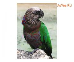 Веерный попугай (Deroptyus accipitrinus) - ручные птенцы из питомников Европы
