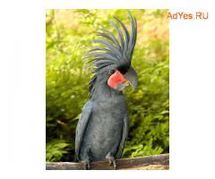 Пальмовый какаду (Probosciger aterrimus) - ручные птенцы из питомников Европы. Документы CITES.