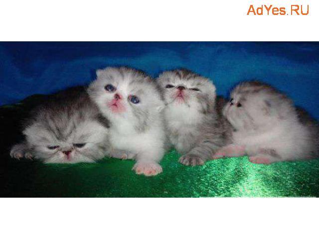 Серебристого окраса котята