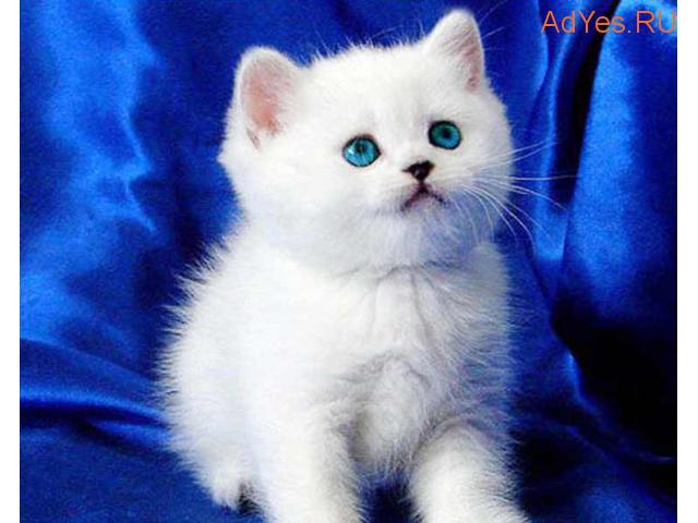 Британские котята с изумрудными и сапфировыми глазами