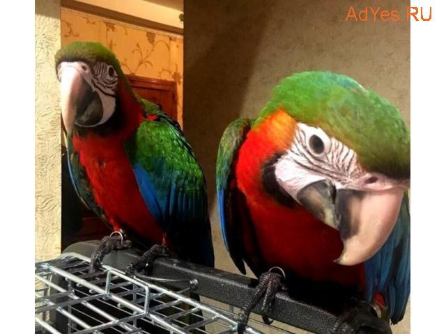 Гибрид попугаев ара Арлекин - птенцы выкормыши из питомников Европы