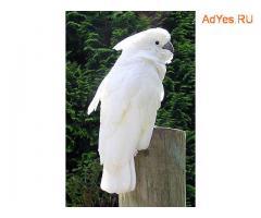 Белохохлый какаду (Cacatua alba) - ручные птенцы из питомников Европы. Документы CITES.