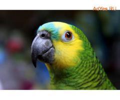 Синелобый амазон (Amazona aestiva aestiva) - ручные птенцы из питомников Европы