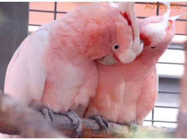 Розовый какаду (Eolophus roseicapilla) - ручные птенцы из питомников Европы