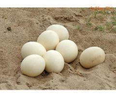 Инкубационное яйцо утки, индоутки, гусей, цесарки