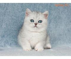 Британские шиншиллы котята с сапфировыми глазками