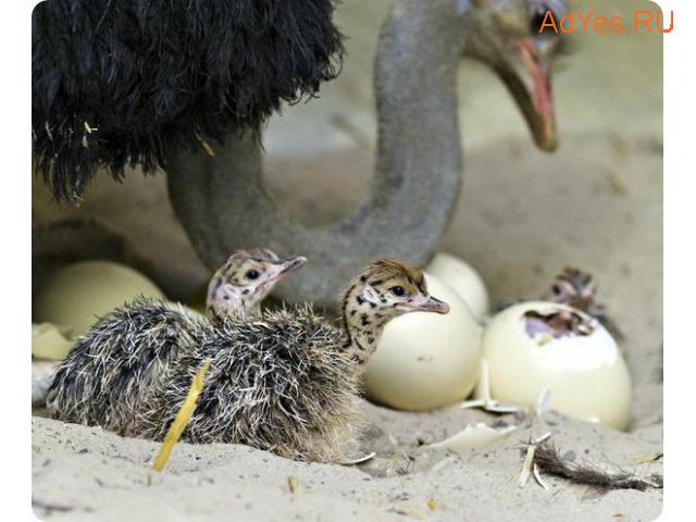 Инкубационное яйцо африканского страуса