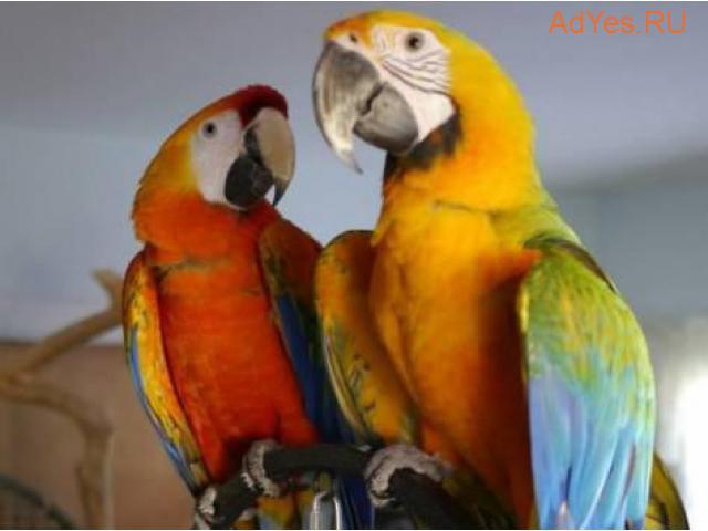 Камелот (гибрид попугаев ара) - птенцы из питомников Европы